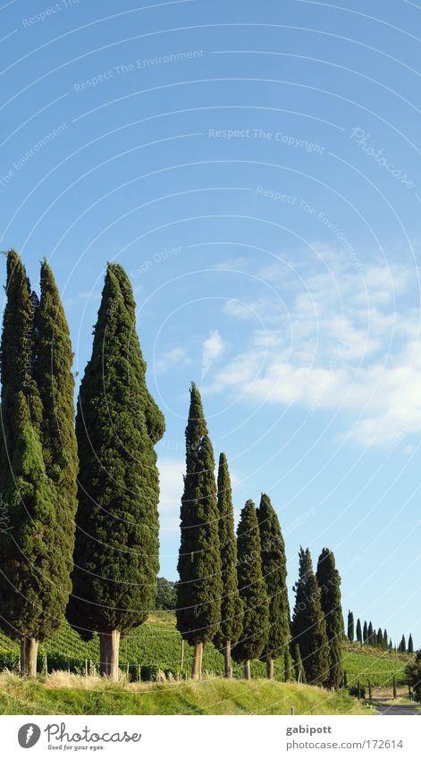 Cupressus Farbfoto Außenaufnahme Menschenleer Textfreiraum oben Tag Sonnenlicht Starke Tiefenschärfe Umwelt Natur Landschaft Pflanze Himmel Wolken Sommer Baum