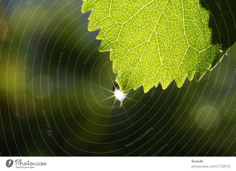 Sonnensternchen1 Farbfoto Außenaufnahme Nahaufnahme Menschenleer Morgen Sonnenlicht Natur Pflanze Wasser Wassertropfen Schönes Wetter Blatt grün Kirschblatt