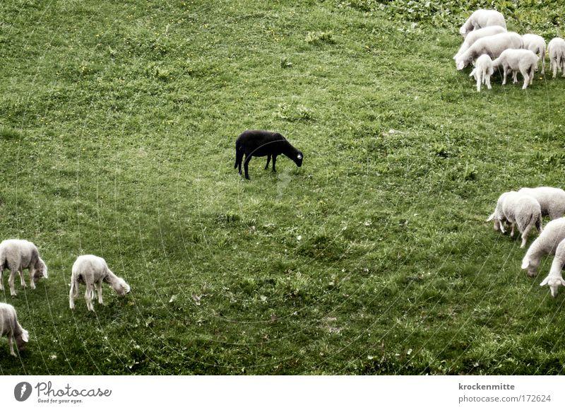 It Don't Matter if You're Black or White Natur weiß grün schwarz Ernährung Einsamkeit Tier Wiese Gras Landschaft Deprivation Tiergruppe einzigartig Weide Schaf