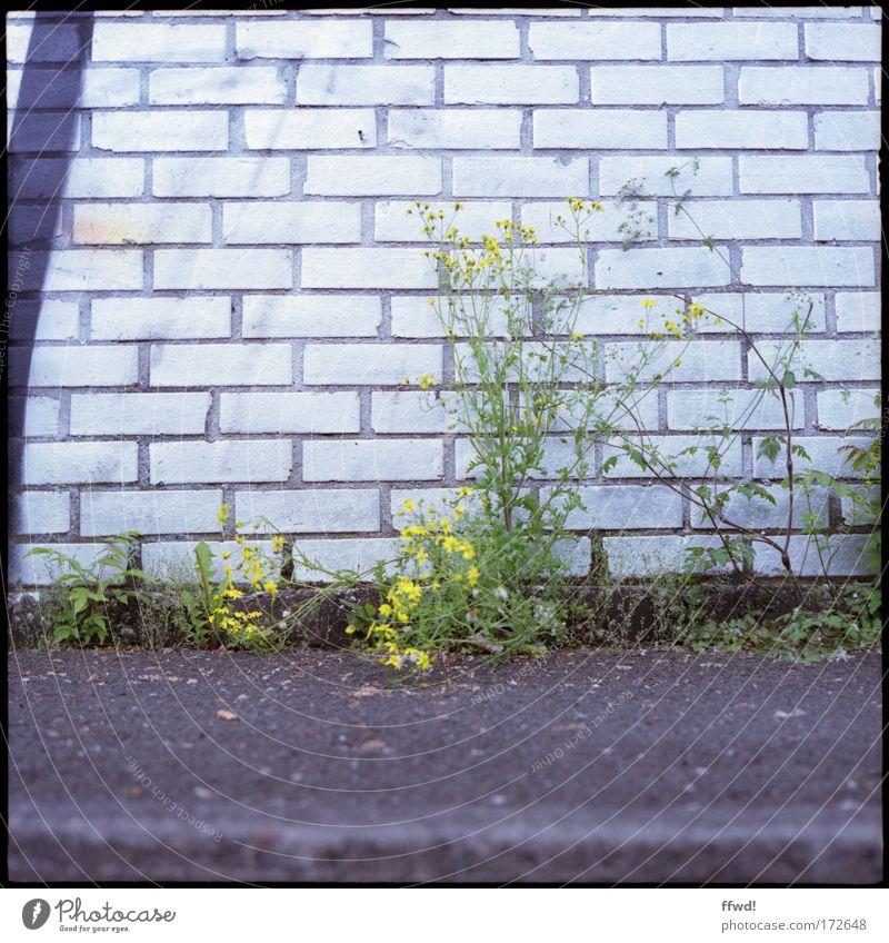 Off the wall Farbfoto Gedeckte Farben Außenaufnahme Tag Schwache Tiefenschärfe Froschperspektive Umwelt Natur Pflanze Gras Sträucher Wildpflanze Stadtrand Mauer