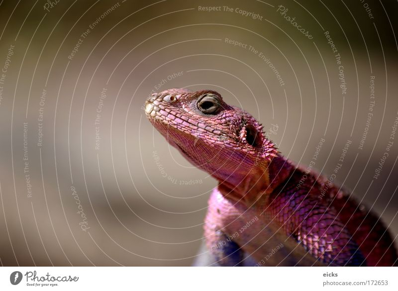Rosa Reptil rosa Schuppen Echte Eidechsen Dinosaurier Gecko Kopf Agama agama farbe ändern Wandel & Veränderung Farbe Chamäleon schauen