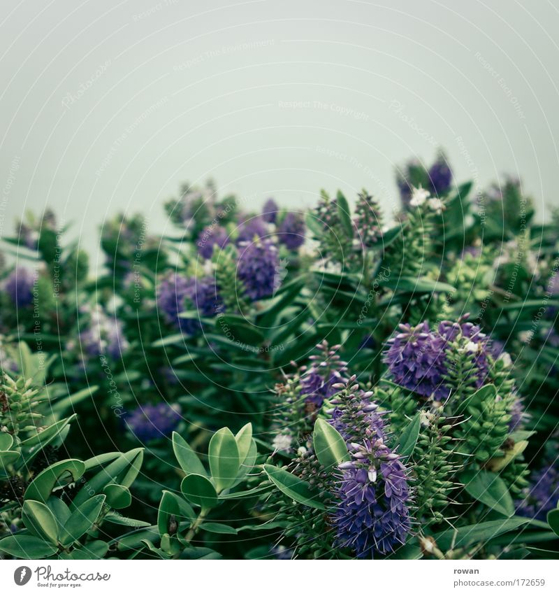 blühend Natur schön Blume Pflanze Blüte Park Sträucher violett exotisch Grünpflanze