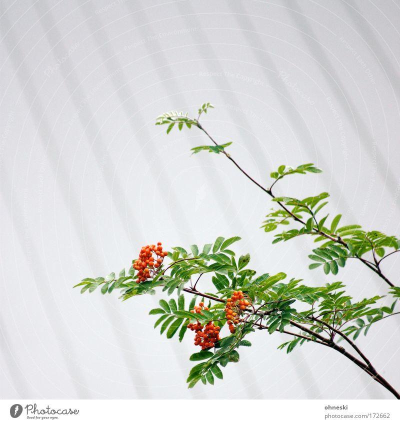 Vogelbeere [Usertreffen Bo] Farbfoto Außenaufnahme Textfreiraum oben Schwache Tiefenschärfe Umwelt Natur Pflanze Vogelbeerbaum Vogelbeeren Sauberkeit grün rot