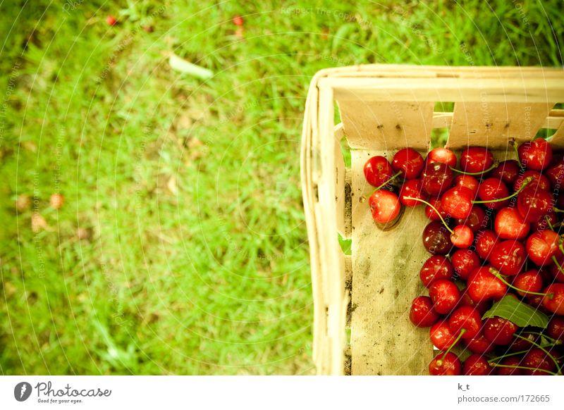 Kirschenernte Natur grün rot Sommer Wiese Gras Garten Gesundheit Lebensmittel Umwelt Frucht frisch Sauberkeit rein natürlich