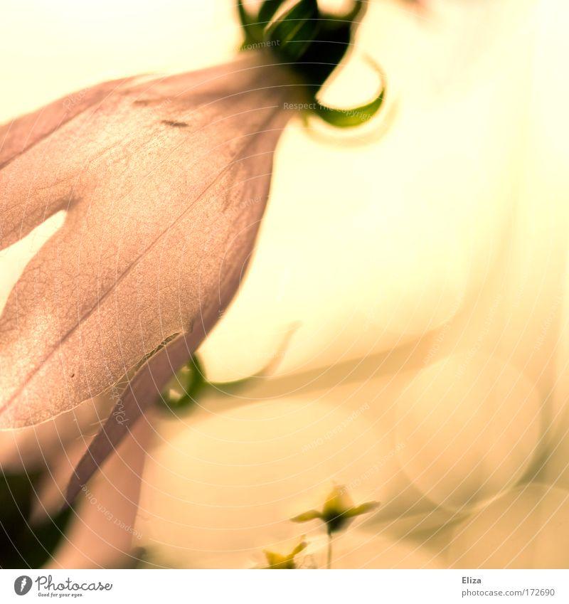 Hauch von Nichts Farbfoto Gedeckte Farben Licht Reflexion & Spiegelung Unschärfe Natur Pflanze Blume ästhetisch exotisch weich zart dünn schön Blüte abstrakt