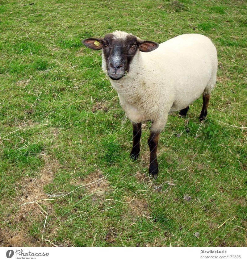 Ich bin Vegetarier. Du doch auch, oder ? Blick in die Kamera Erholung ruhig Wiese Dorf Fell Piercing Ohrringe weißhaarig Tier Nutztier Tiergesicht Schaf