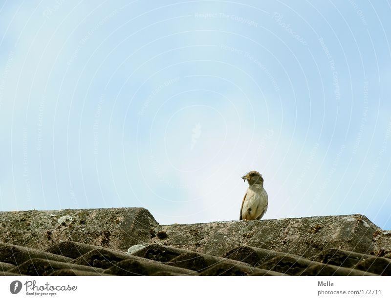 Lieber den Spatz auf dem Dach ... Himmel Natur blau Sommer Tier Haus Freiheit klein Vogel Wildtier sitzen natürlich frei Dach niedlich fangen