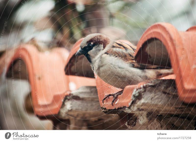 Spatz Natur schön grün Baum Blatt Haus braun Vogel wild sitzen Feder niedlich Fliesen u. Kacheln Schnabel Ornithologie wunderbar