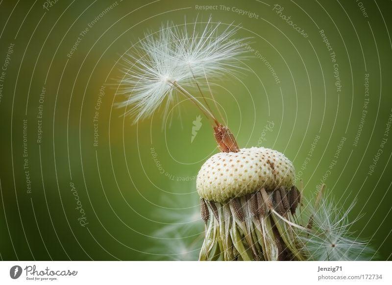 Pusteblume. Blume Pflanze Einsamkeit Wiese Blüte Frühling elegant fliegen Löwenzahn Samen Wildpflanze