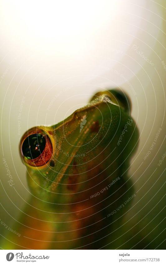 froschgesicht grün Tier Auge Wildtier warten beobachten Tiergesicht Urwald Frosch Hochformat