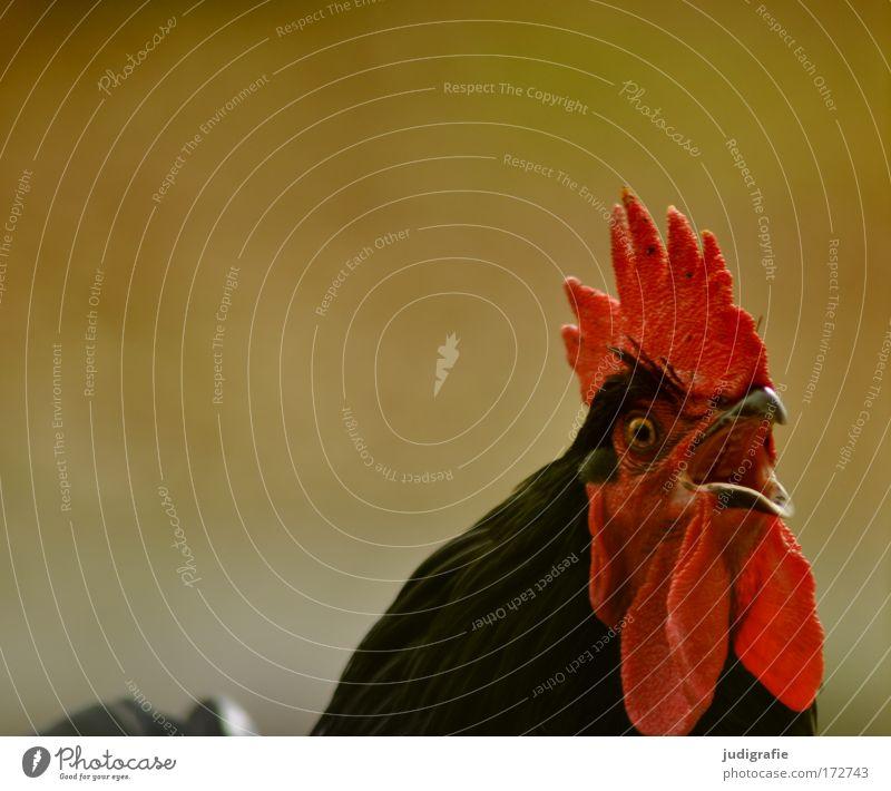 Kräht der Hahn auf dem Mist ... Farbfoto Außenaufnahme Tag Tierporträt Wegsehen Haustier Nutztier Haushuhn 1 Aggression rot Bauernhof Schnabel Kopf Auge Morgen