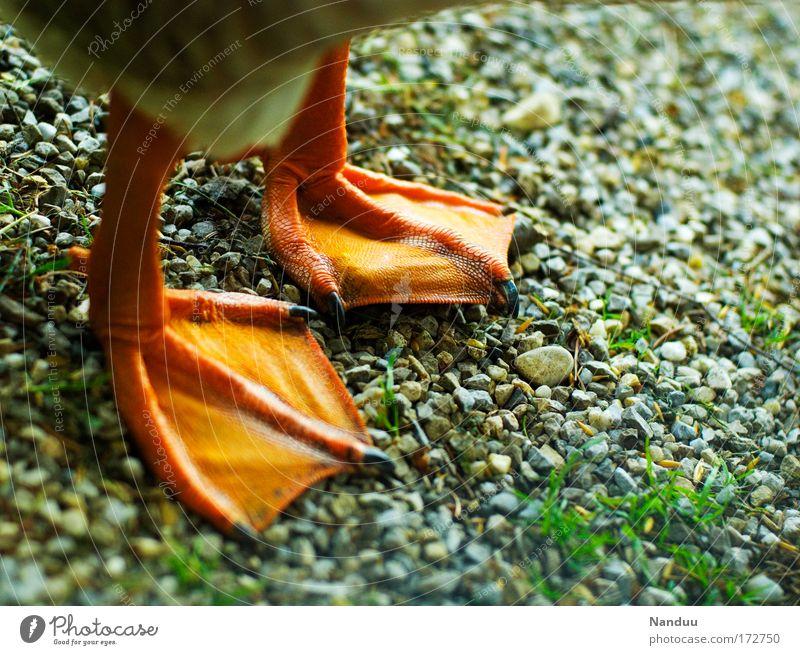 Barfuß Farbfoto mehrfarbig Außenaufnahme Menschenleer Tier Nutztier Ente Gans 1 stehen Tierfuß Schwimmhaut Krallen Boden Kies Quaken orange Vogel lustig