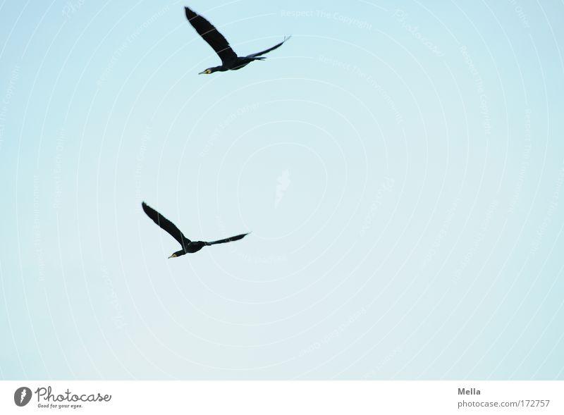 Der doppelte Kormoran Natur blau Tier Bewegung Freiheit Luft Freundschaft Zusammensein Vogel Tierpaar Umwelt fliegen frei paarweise natürlich Wildtier
