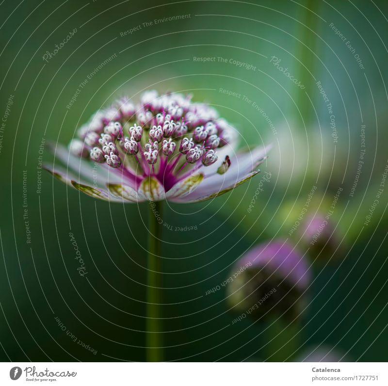 Große Sterndolde Natur Pflanze Sommer Blume Blüte Wildpflanze Alpen Blühend Wachstum ästhetisch schön grün rot türkis nachhaltig Umwelt Umweltschutz