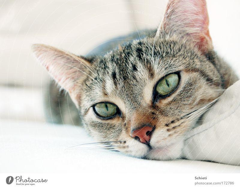 mogli, the cat Zufriedenheit Erholung ruhig Sofa Tier Haustier Katze Tiergesicht 1 liegen hell schön kuschlig niedlich weich weiß Geborgenheit träumen Farbfoto