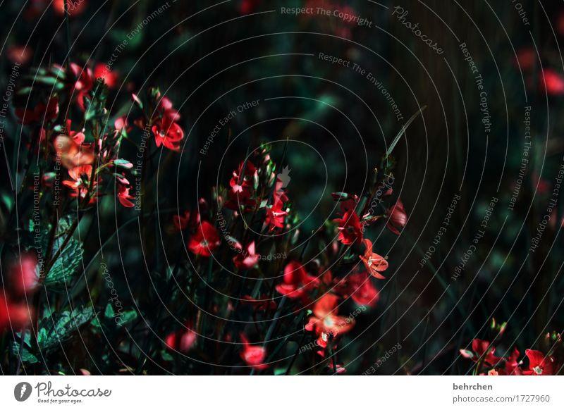 kriegsenkel | trauern Natur Pflanze Sommer Blume Gras Blatt Blüte Wildpflanze Veronica Garten Park Wiese Feld Blühend Duft verblüht Wachstum dunkel schön