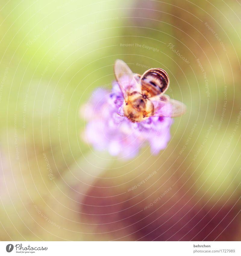 mors Natur Pflanze Tier Sommer Schönes Wetter Blume Blatt Blüte Lavendel Garten Park Wiese Wildtier Biene Flügel 1 beobachten Blühend Duft Erholung fliegen