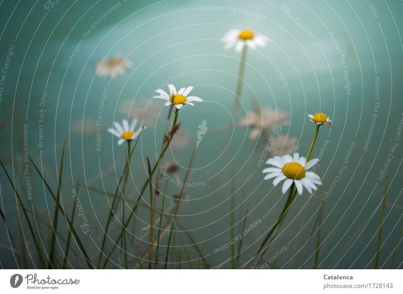 Überschwemmung Sommer wandern Natur Pflanze Wasser Klimawandel schlechtes Wetter Blume Blüte Margerite Alpen Berge u. Gebirge Flussufer Isar Blühend verblüht