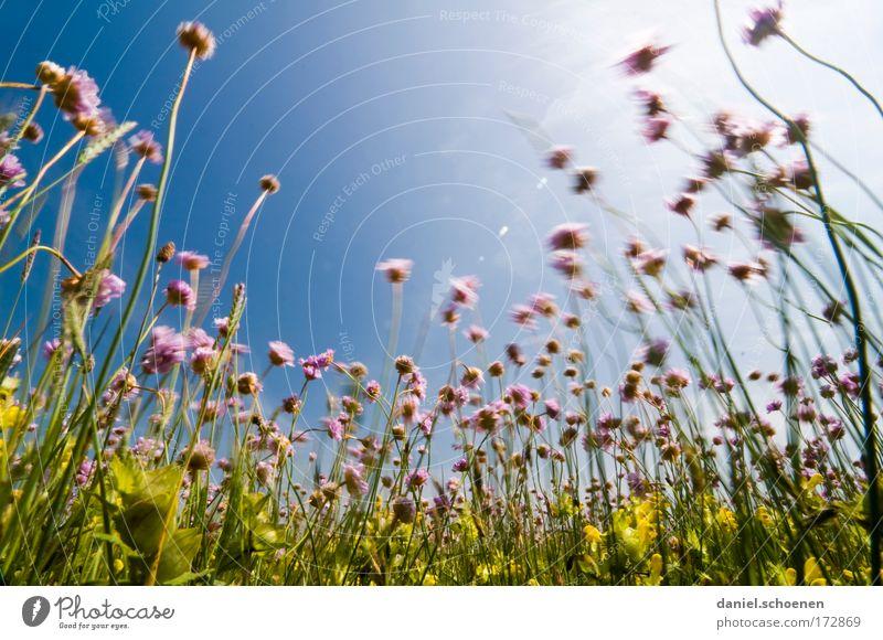 blühendes Schnittlauch im Wind Natur Sonne Blume grün blau Pflanze Sommer Ferne Farbe Wiese Blüte Gras Bewegung rosa Wind Perspektive