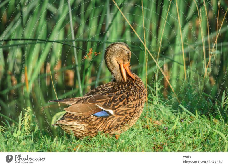 schüchtern Segeln Baby Natur Tier Wasser Vogel Tierjunges nass weich Reinlichkeit Sauberkeit Scham Hemmung Schüchternheit Respekt Biotop Ente Entenküken Erpel