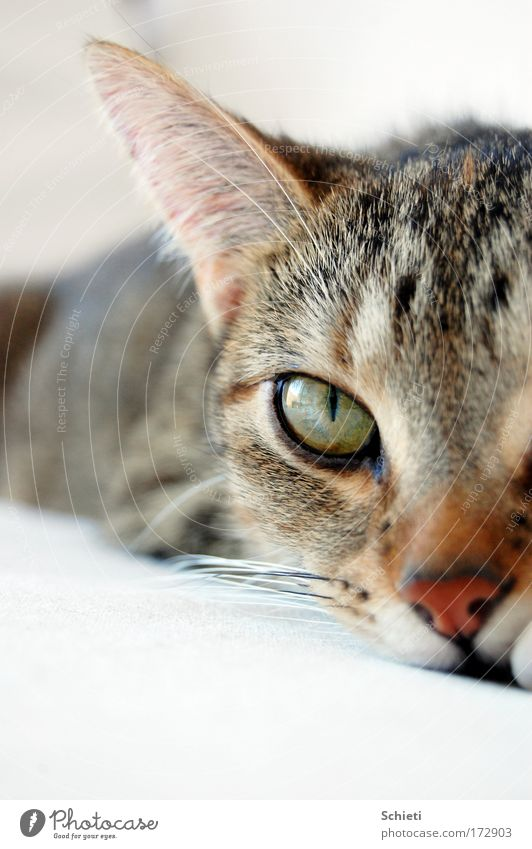 mogli, the cat II Katze Tier Erholung Auge Haare & Frisuren liegen beobachten Ohr Fell Tiergesicht Haustier
