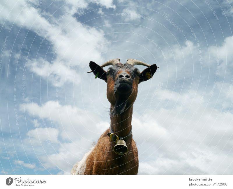 Woher kommt das Gebimmel? Tier Himmel Wolken Wind Nutztier Tiergesicht Ziegen Ziegenfell Horn Kinnbart Fell Säugetier 1 Glocke Blick Ohr Alp Flix
