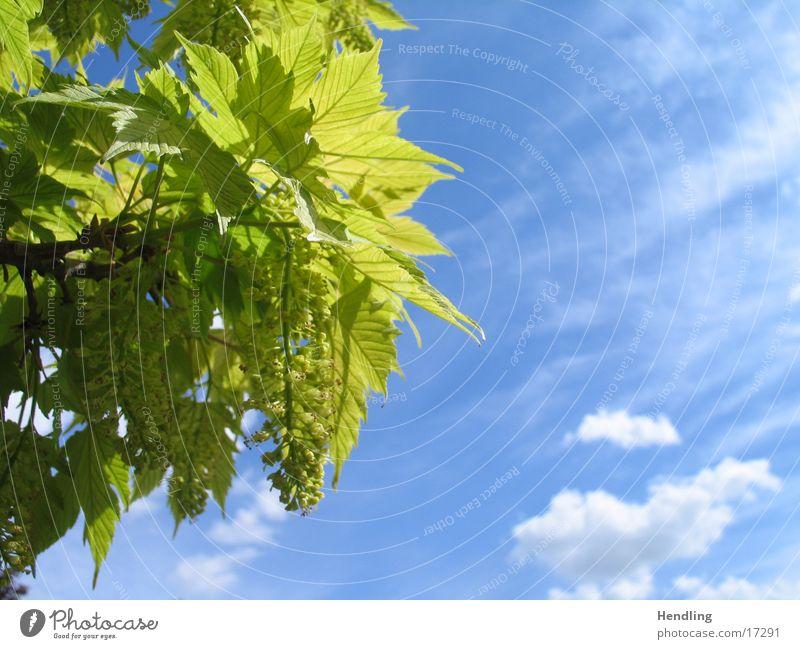 Die Sonne färbt die Blätter grün Blauer Himmel