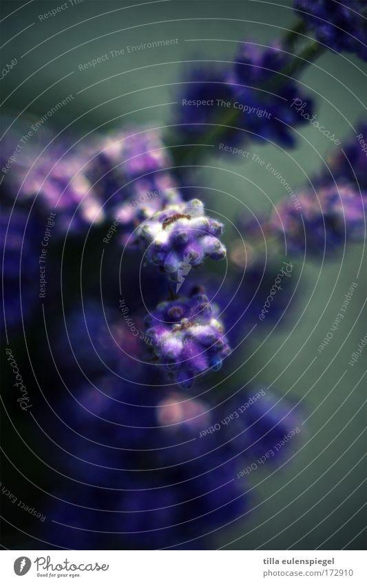 smooth Makroaufnahme Experiment abstrakt Schwache Tiefenschärfe Pflanze Blüte exotisch Blumenstrauß violett Lavendel Provence Heilpflanzen außergewöhnlich