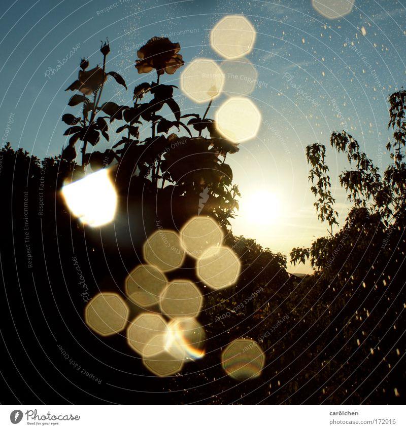 mit Licht malen II Natur Pflanze Sommer Landschaft Stimmung glänzend Licht Rose ästhetisch Tropfen Dynamik Blume gießen Lichtpunkt Sonnenuntergang