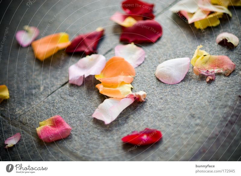 Rosenblätter rot gelb Gefühle Glück rosa elegant Fröhlichkeit Romantik Partnerschaft Frühlingsgefühle Rosenblüte Hochzeitstag (Jahrestag)