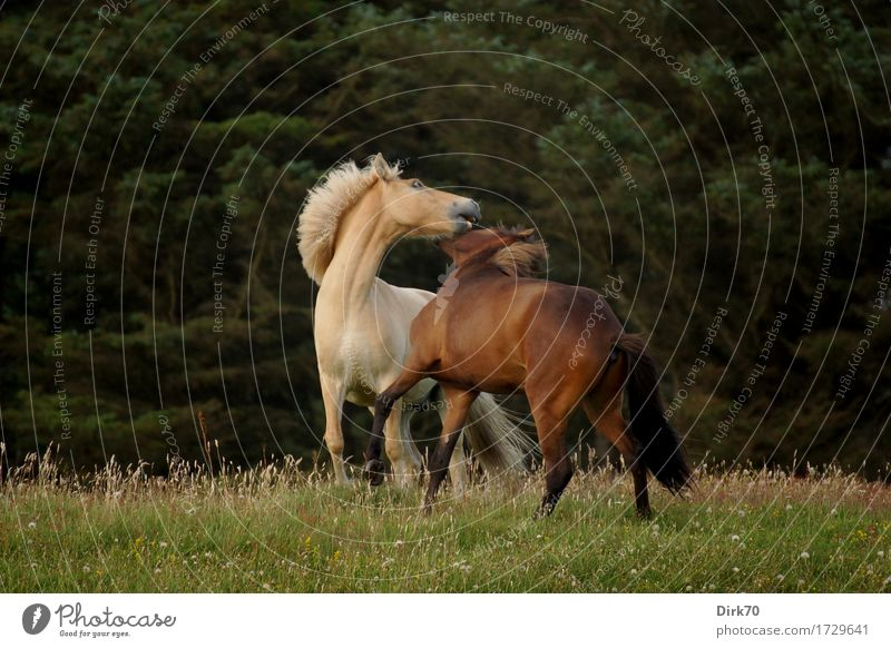 Wild Horses exotisch Reiten Landwirtschaft Forstwirtschaft Natur Landschaft Sommer Baum Gras Kiefer Wiese Wald Weide Dänemark Tier Haustier Nutztier Pferd Ponys