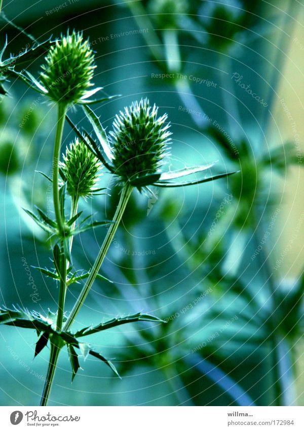 Blaudistel-Grünschnäbel Distel Pflanze Wildpflanze Spitze stachelig blau grün Widerhaken Widerstandskraft Zusammenhalt thistle Wachstum Farbfoto Umwelt Natur