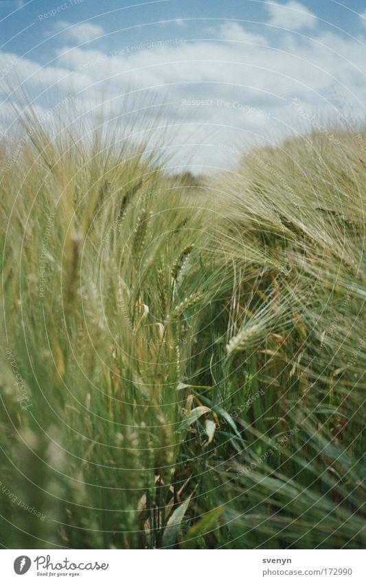 Ab durchs Feld Natur grün Sommer Wolken Feld analog Mitte Schönes Wetter Weizen Weizenfeld