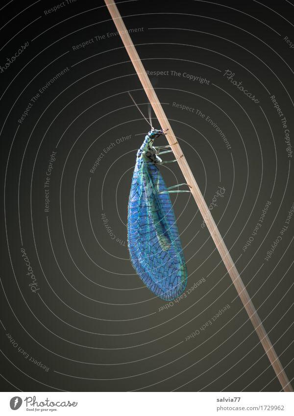 Federleicht Natur grün Tier Umwelt natürlich grau Design elegant Wildtier ästhetisch Fliege Flügel dünn Insekt Stengel durchsichtig
