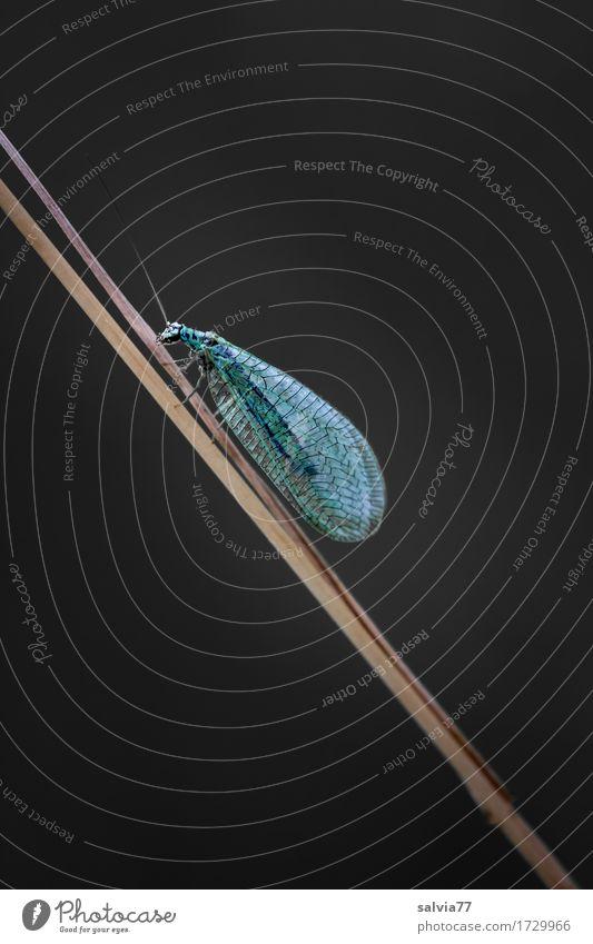 filigranes Wesen Natur Tier Fliege Insekt Florfliege 1 grün schwarz Leichtigkeit zart fein nützlich aufwärts Kontrast Farbfoto Makroaufnahme Menschenleer