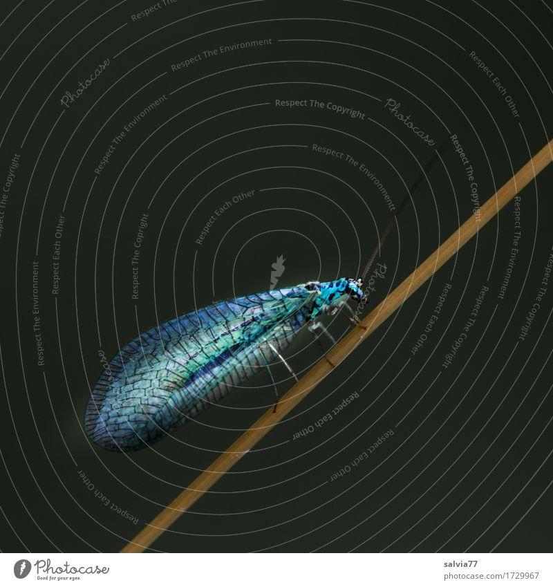 transparent Natur Tier Sommer Feld Wildtier Flügel Insekt Netzflügler Florfliege 1 krabbeln leuchten grau grün schwarz Leichtigkeit durchsichtig filigran fein