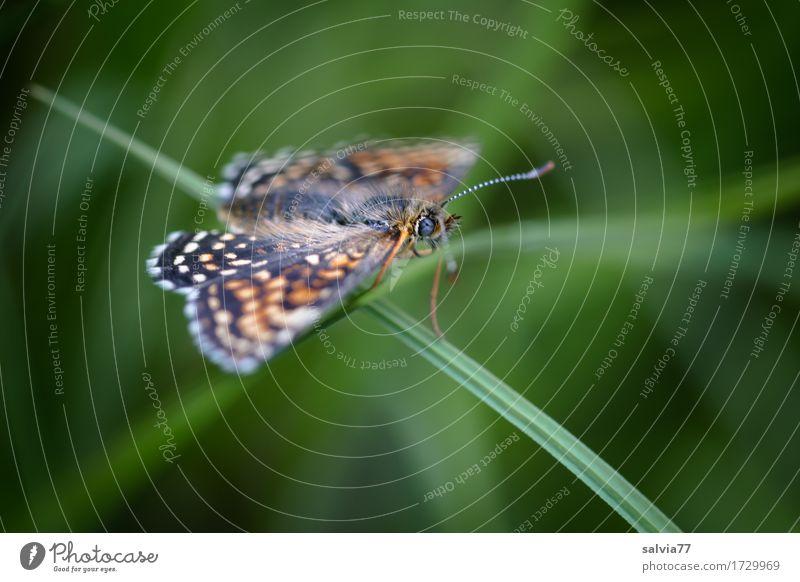 Balance Umwelt Natur Pflanze Tier Sommer Gras Grünpflanze Wildtier Schmetterling Flügel Fühler Insekt 1 grün Zufriedenheit Leben Leichtigkeit Perspektive