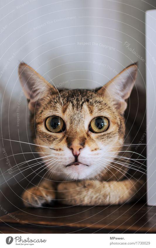 Kater Mau Tier Haustier Katze 1 kuschlig Spitze Auge Katzenauge Schnurrhaar Fell beobachten groß Farbfoto Innenaufnahme Menschenleer Textfreiraum oben