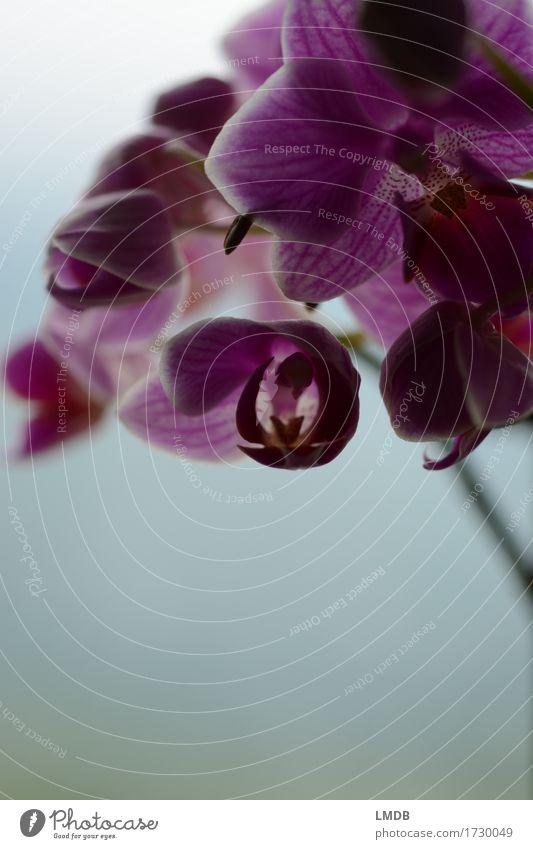...die dunkle Seite der Botanik Pflanze Blume Orchidee exotisch rosa violett Hintergrund neutral Orchideenblüte Topfpflanze Blütenknospen schön zart dunkel
