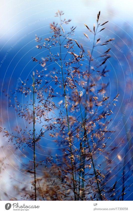 ein Stück Blau Umwelt Natur Pflanze Urelemente Himmel Frühling Sommer Herbst Schönes Wetter Gras Nutzpflanze Wildpflanze frisch verrückt trocken Wärme feminin