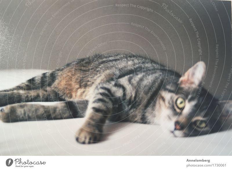 Lovecat Haustier Katze 1 Tier Freude Vertrauen Geborgenheit loyal Warmherzigkeit Sympathie Freundschaft Liebe Tierliebe Erholung Frieden Zufriedenheit Tiger