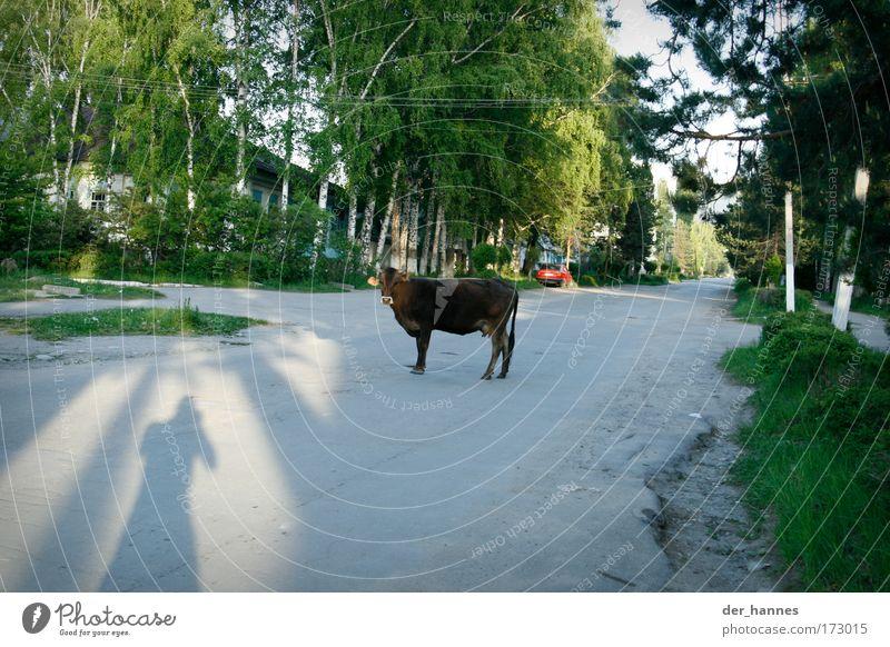 muh Natur Tier Straße Ernährung Umwelt Wege & Pfade Asien Dorf Schönes Wetter Kuh Verkehrswege schäbig Langeweile Nutztier Verkehrsmittel Stadtrand