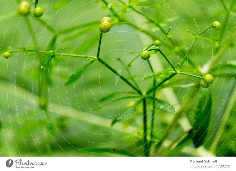 Grün Natur Pflanze grün Umwelt natürlich Gesundheit Beginn Blütenknospen
