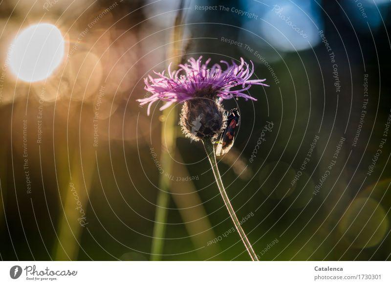 Schlafplatz gefunden Natur Pflanze Tier Himmel Sonnenlicht Sommer Blüte Kornblume Wiese Alpen Wildtier Schmetterling Insekt Sechsfleck Widderchen 1 Blühend