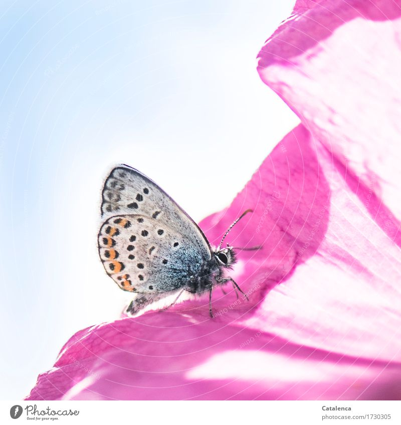 Pink & blau Natur Pflanze Himmel Blume Rose Blüte Wiese Tier Wildtier Schmetterling Insekt Bläulinge 1 Duft krabbeln ästhetisch orange rosa Fröhlichkeit Design