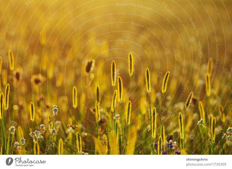in a row Natur Tier Sonnenlicht Sommer Wetter Schönes Wetter Gras Wiese Feld leuchten stehen Wärme gold grün Stimmung Energie Erholung Gesellschaft (Soziologie)