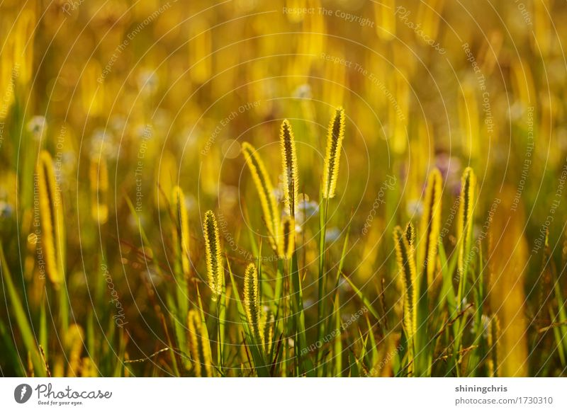 glow Natur Landschaft Tier Sonnenlicht Sommer Wetter Schönes Wetter Gras Wiese Feld leuchten Wärme gold grün Stimmung Zusammensein Zusammenhalt Farbfoto