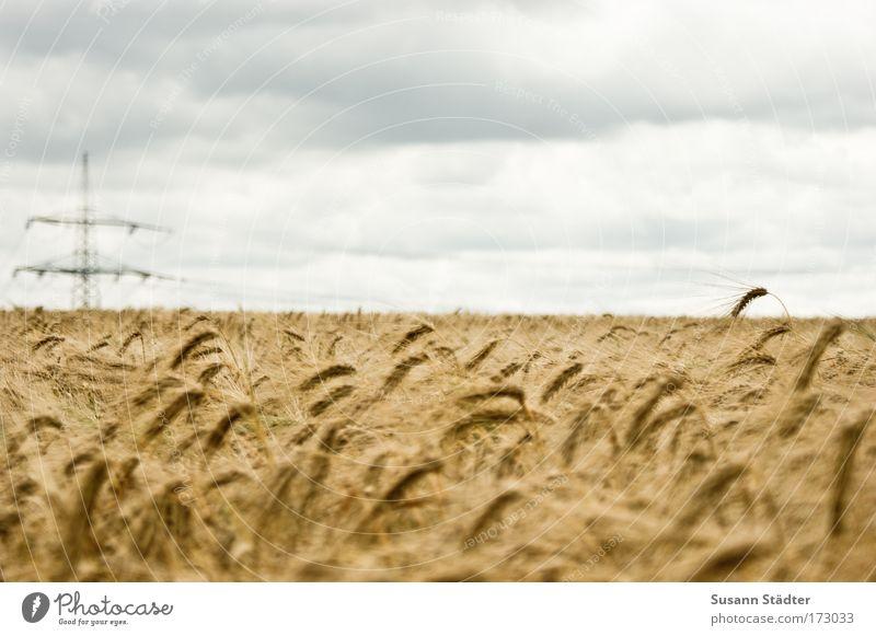 Field Of Gold Natur Pflanze Sommer Ferien & Urlaub & Reisen Erholung Feld blond Ausflug Elektrizität Sträucher Schönes Wetter Strommast harmonisch Gegenteil Weizen Roggen