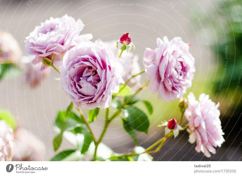 rosa Rosen Ausflug Sommer Natur Pflanze Frühling Schönes Wetter Blume Blatt Topfpflanze Garten Park Wiese Freude Glück Fröhlichkeit Landesgartenschau Blüte