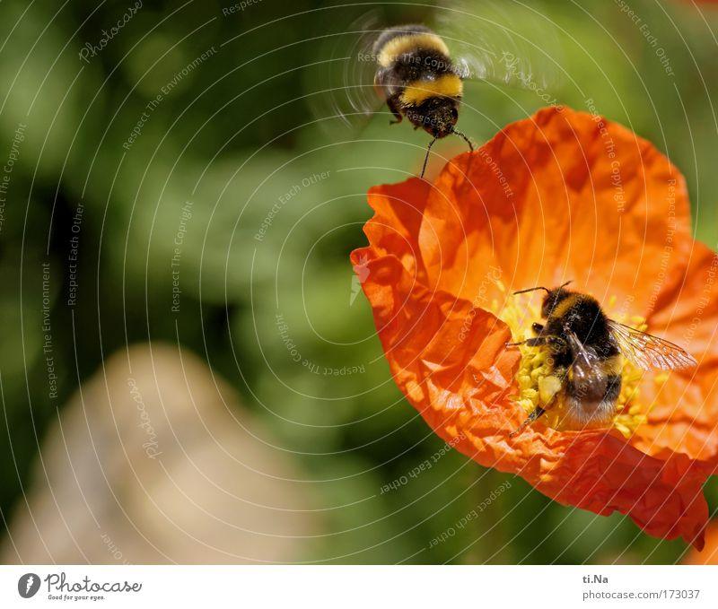 schon besetzt Natur Blume Pflanze Sommer Tier Arbeit & Erwerbstätigkeit Wiese Blüte Frühling Luft orange Feld Umwelt fliegen Geschwindigkeit Wachstum
